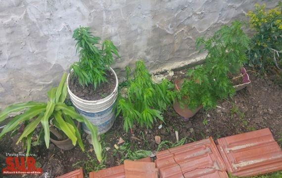 Allanan viviendas y detienen a tres por cultivo de marihuana