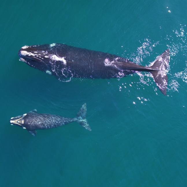 Foto-identifican cuatro ballenas de Pen�nsula Vald�s seguidas por sat�lite