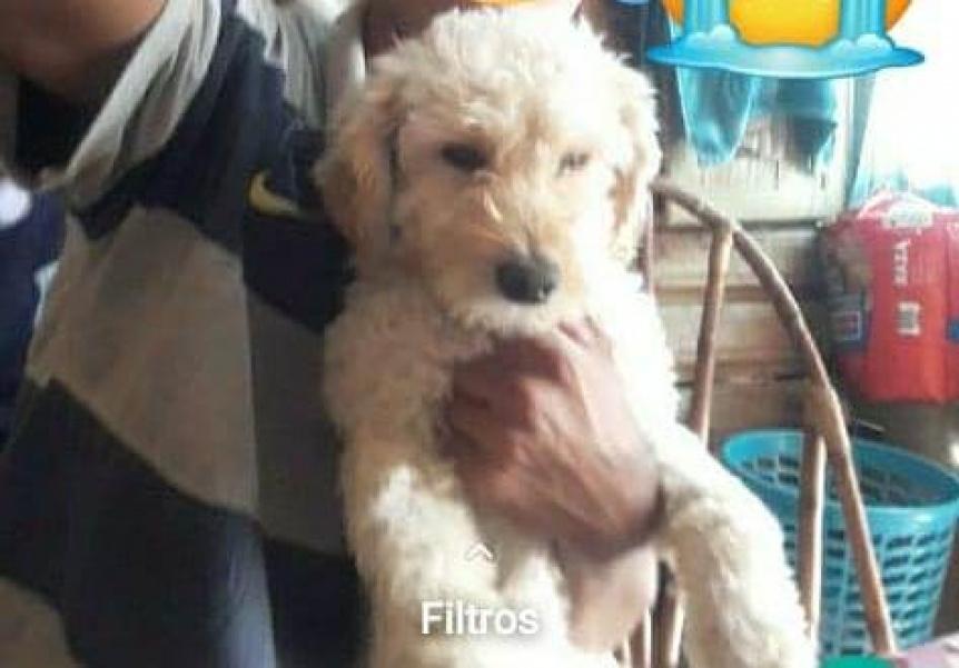 Piden ayuda para encontrar a un perrito perdido